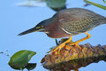 Green Heron Stalking its Prey Stock Photography
