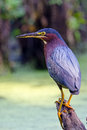 Green heron standing on a branch by a pond Royalty Free Stock Images