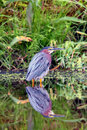 Green Heron in Still Water Stock Images
