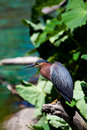Green Heron on tree branch Royalty Free Stock Images