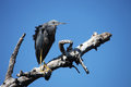 Green Heron on the trunk of a dead tree against the blue sky,