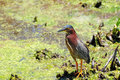 Green Heron in Wetland Royalty Free Stock Image