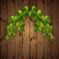 Green hop plant,. hop cones, beer brewing ingredient.