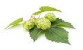 Green hops. Royalty Free Stock Photo