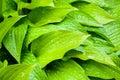 Green hosta leaves closeup