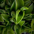 Green hosta leaves in the morning Royalty Free Stock Photo