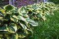 Hosta` Patriot` grow in the garden in summer Royalty Free Stock Photo