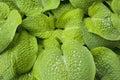 Green hosta with raindrops Royalty Free Stock Photo