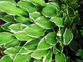 Green hostas with white edges bright hosta plants trondheim norway garden Stock Image