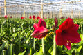 Green house for the nursery of amaryllis flowers in this case beautiful red amarayllis in neterlands Stock Photography