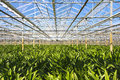 Green house for the nursery of flowers in this case amarayllis in neterlands Stock Photography