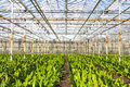 Green house for the nursery of flowers floewers in this case amarayllis Stock Image