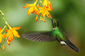 Green humingbird Tourmaline Sunangel, Heliangelus exortis, flying next to beautiful yellow orange flower, Costa Rica Royalty Free Stock Photo