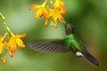 Green humingbird tourmaline sunangel heliangelus exortis flying next to beautiful yellow orange flower costa rica Royalty Free Stock Photography