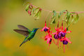 Green hummingbird green violet ear colibri thalassinus flying next to beautiful pink and violet flower savegre costa rica wildlife Stock Photos