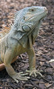 Green iguana 15 Stock Photography