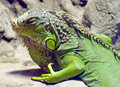 Green Iguana 2 Royalty Free Stock Photography