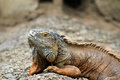 stock image of  The green iguana
