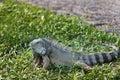 Green iguana in Bali Reptile Park Royalty Free Stock Photo
