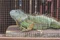 Green Iguana In Captivity Royalty Free Stock Photo