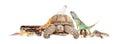 Green Iguana Closeup on White Royalty Free Stock Photo