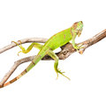 Green iguana crawling on dry branch. isolated on white Royalty Free Stock Photo