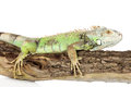 Green iguana crawling tree white background Stock Photo