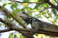 Green iguana a eats a leave in tree in the us virgin islands Royalty Free Stock Photo