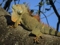 Green iguana a herbivore it has adapted significantly with regard to locomotion and osmoregulation as result of its diet Royalty Free Stock Photography