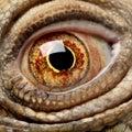 Green Iguana - Iguana iguana (6 years old) Royalty Free Stock Photo