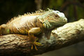 Green iguana iguana iguana a beautiful from south america perched on a branch Royalty Free Stock Images