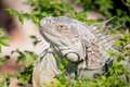 Green iguana iguana iguana close up face Stock Photo