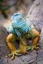 Green iguana iguana iguana close up of a multi colored male Stock Image