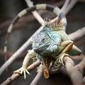Green iguana iguana iguana closeup of the Royalty Free Stock Image