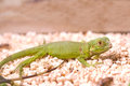Green iguana iguana iguana closeup Stock Images