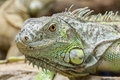 Green iguana iguana iguana closeup portrait of a Stock Photos