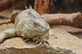 Green iguana iguana iguana crawling with sandy background Stock Image