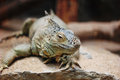 Green iguana iguana iguana crawling with sandy background Stock Photos