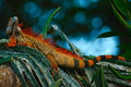 Green iguana, Iguana iguana, portrait of orange big lizard in the dark green forest, animal in the nature tropic forest habitat, C Royalty Free Stock Photo