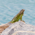 Green iguana iguana iguana sitting on rocks at the caribbean coast Royalty Free Stock Photography