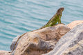 Green iguana iguana iguana sitting on rocks at the caribbean coast Stock Photos