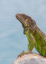 Green iguana iguana iguana sitting on rocks at the caribbean coast Stock Photo