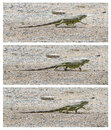Green iguana iguana iguana walking compilation of three Royalty Free Stock Images