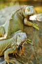 Green iguana iguanas are diurnal arboreal and are often found near water Stock Photography