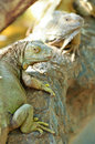 Green iguana iguanas are diurnal arboreal and are often found near water Stock Images