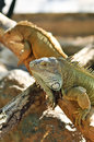 Green iguana iguanas are diurnal arboreal and are often found near water Royalty Free Stock Images