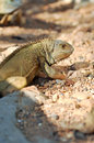 Green iguana iguanas are diurnal arboreal and are often found near water Royalty Free Stock Photography