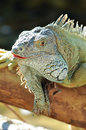 Green iguana iguanas are diurnal arboreal and are often found near water Stock Photos