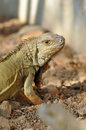 Green iguana iguanas are diurnal arboreal and are often found near water Royalty Free Stock Photos