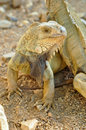Green iguana iguanas are diurnal arboreal and are often found near water Royalty Free Stock Photo